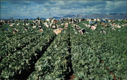 Lettuce Harvest in Central Arizona's Salt River Valley