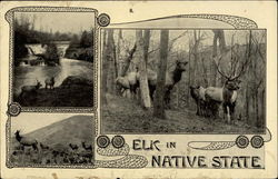 Elk in Native State