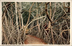 Mangrove Trees, Jungle Trail