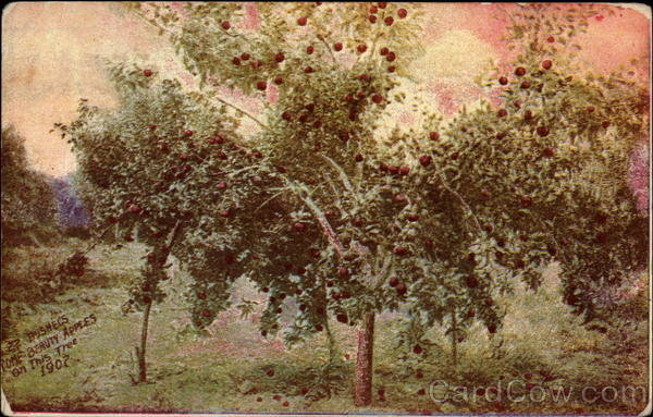 22 bushels Rome Beauty apples on this tree, 1907 Payette Idaho