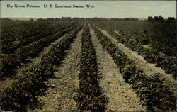 Dry Grown Potatoes, U. S. Experiment Station