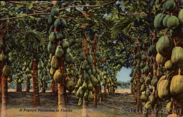 A Papaya Plantation in Florida Fruit