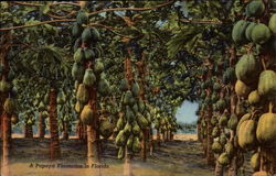 A Papaya Plantation in Florida