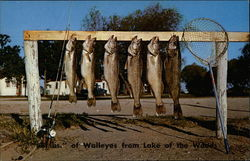 68 Pounds of Walleyes