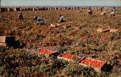 A fine crop of California tomatoes