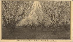 A Shasta County Prune Orchard