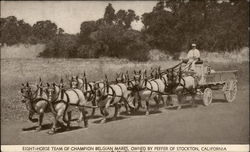 Eight-Horse Team of Champion Belgian Mares