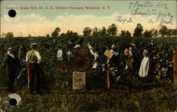 Scene in Grape Belt, Dr. C.E. Welch's Vineyard