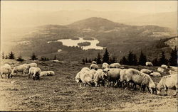 Sheep Grazing in a Pasture on a Hillside