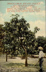 Mango Tree with Fruit, Florida