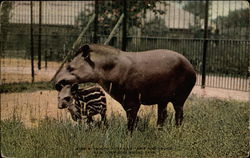 South American Tapir and Young