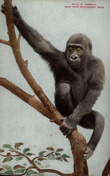 Gorilla, New Your Zoological Park