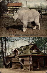 Rocky Mountain Goat and Shelter, New York Zoological Park