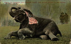 Elephant rests in field and holds a U.S. flag in her trunk