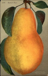 Bartlett pear illustration