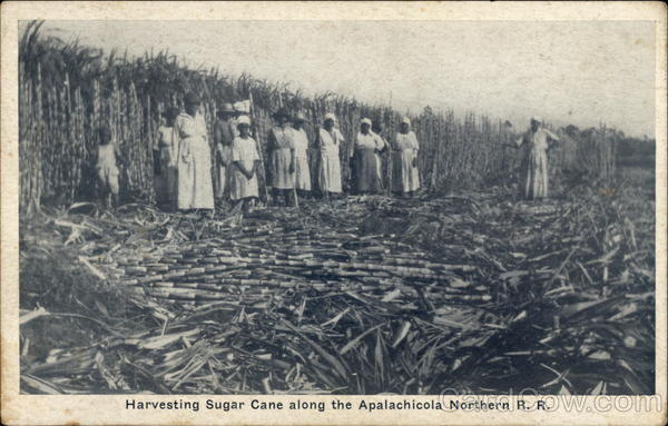 Harvesting Sugar Cane along the Apalachicola Northern R. R
