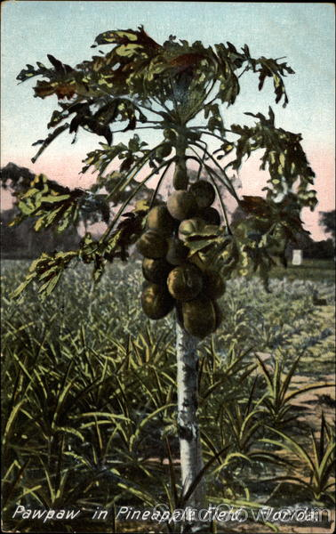 Pawpaw in Pineapple Field, Florida Fruit