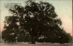 Sir Joseph Hooker Oak in Bidwell Park
