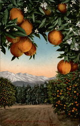 Orange trees with mountains in distance
