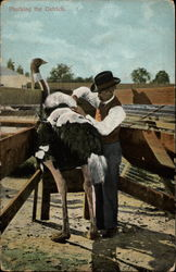 Plucking the Ostrich