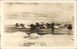 Walrus among Ice Floes in the Bering Sea