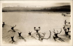 Caribou swimming the Yukon River