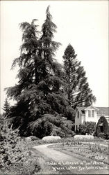 Cedar of Lebanon where Luther Burbank is buried