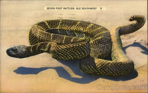 A Seven Foot Rattler of the 'Ole Southwest Snakes & Reptiles