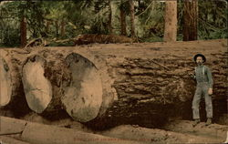 Giant Fir Logs Ready For The Mill