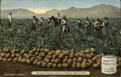 Hawaiian pineapples, District of Wahaiwa