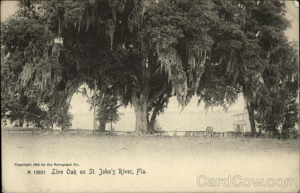 Live Oak on St. John's River Florida