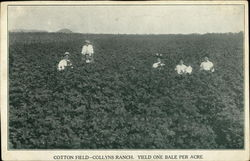 Cotton Field, Collyns Ranch