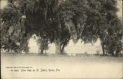 Live Oak on St. John's River