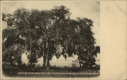 Live Oak on the St. Johns River