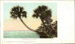 Palmettoes of Florida
