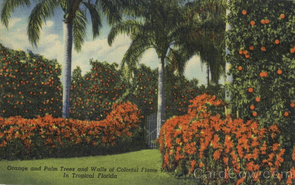 Orange and palm Trees and Walls of Colorful Flame Vine Scenic Florida