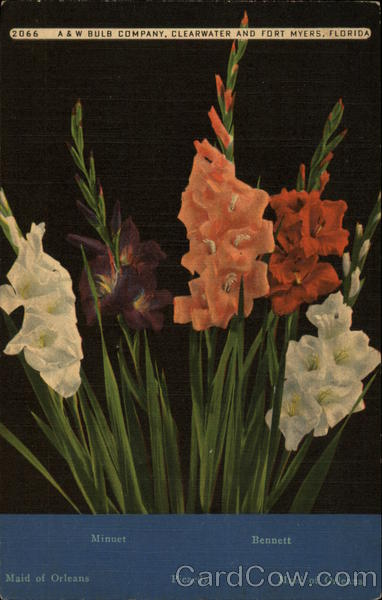 A & W Bulb Company - Various Gladioli Clearwater Florida