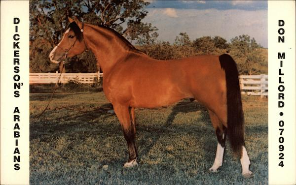 Dickerson's Arabians - Don Millord Horses