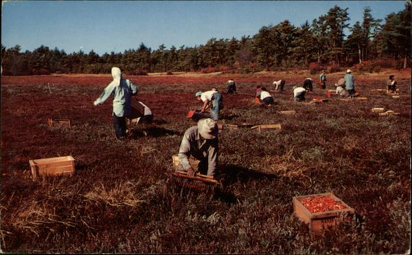 anberry Harvest on Cape Cod Massachusetts