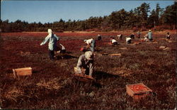 anberry Harvest on Cape Cod