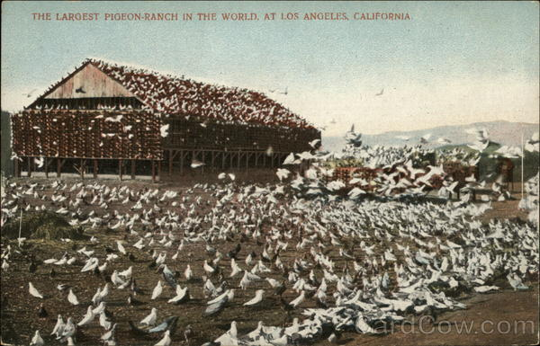 The Largest Pigeon Ranch in the World Los Angeles California