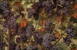 Grapes from the Kittitas Valley
