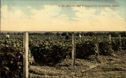 A 30 months old vineyard