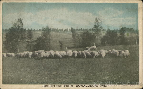 A Field of Sheep Donaldson Indiana