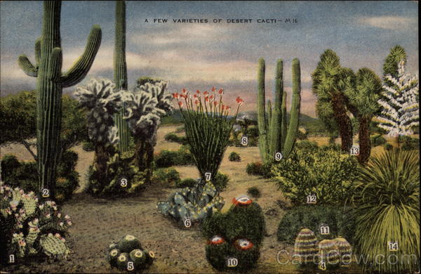 A Few Varieties of Desert Cacti Cactus & Desert Plants