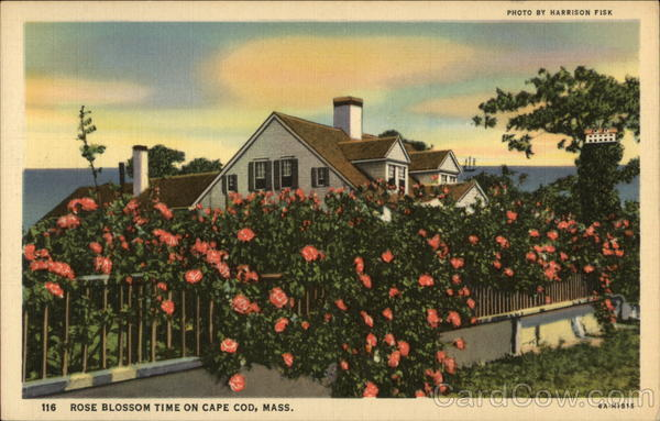 Rose Blossom Time Cape Cod Massachusetts
