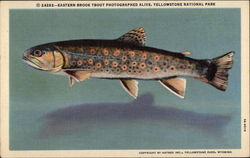 Eastern Brook Trout Photographed Alive