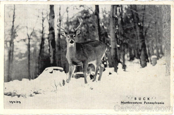 Buck - Northwestern Pennsylvania Scenic Deer