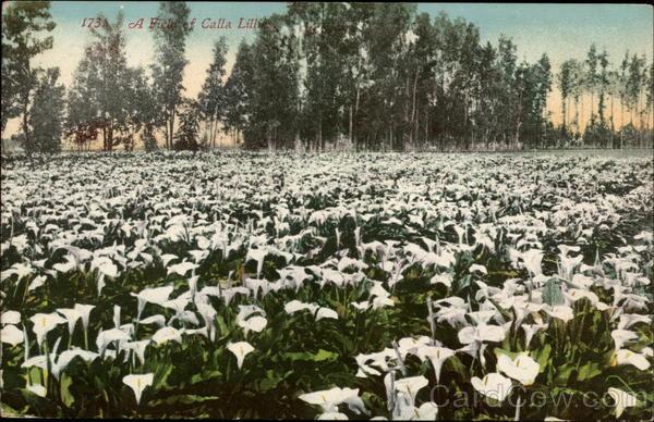 A Field odf Calla Lilies Flowers