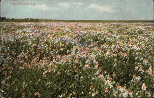 A Field of Sweet Peas Flowers